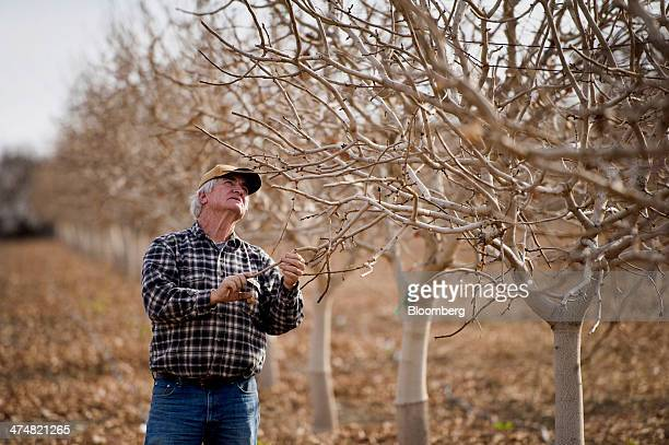 Christopher Hurd owner of Circle G Farms looks at a buds on a pistachio tree on his farm in Firebaugh California US on Monday Feb 17 2014 Farmers in...
