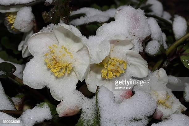 Christrose zwei weisse Bluetenstaende schneebedeckt