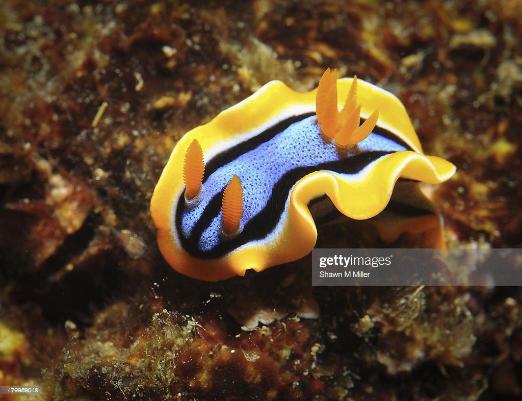 Chromodoris annae nudibranch -sea slug : Stock Photo