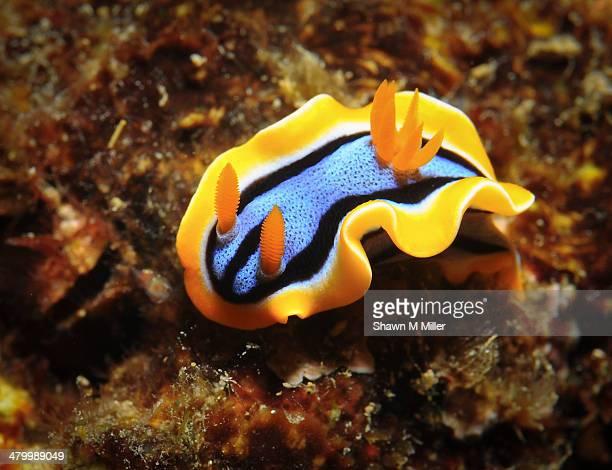 Chromodoris annae nudibranch -sea slug