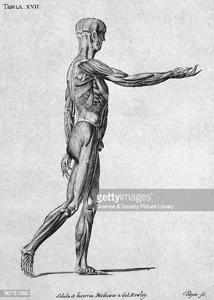 Chromolithograph by Royce showing a side view of the muscles in the human body This diagram is from a collection of bookplates and accompanying key...