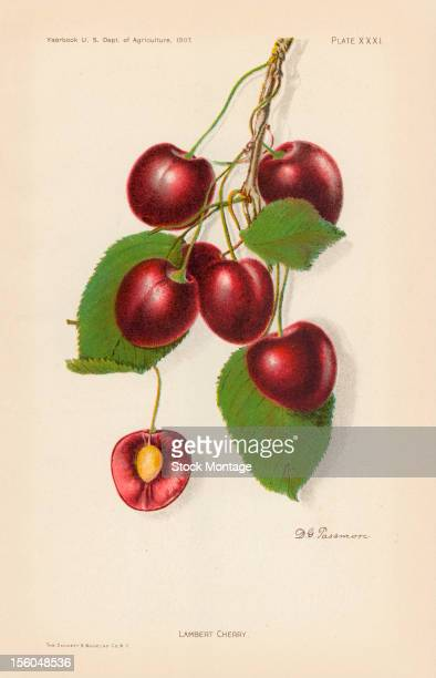 Chromolithograph illustration depicts Lambert cherrys on the vine 1907 The image originally appeared in an unspecified US Department of Agriculture...