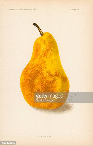 Chromolithograph illustration of a Crocker pear 1905 The illustration appeared in an unspecified US Department of Agriculture publication