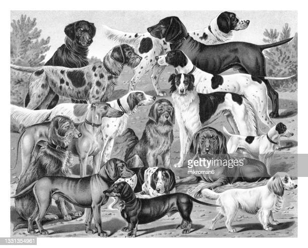 chromolithograph illustration of breeds of hunting dogs - lithograph stock pictures, royalty-free photos & images