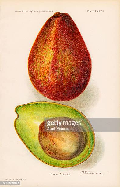 Chromolithograph illustration of Family avocados depicted in whole and cross section views 1910 The illustration appeared in an unspecified US...