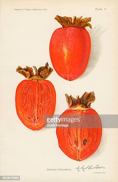 Chromolithograph illustration of Ormond persimmons depicted in whole and cross section views 1912 The illustration appeared in an unspecified US...