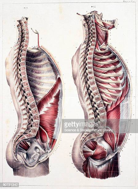 Chromolithographic plate of the vertical cut of the human trunk showing two figures one showing the structure of the body with muscles and ribcage...