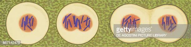 Chromosome division in plant cells drawing