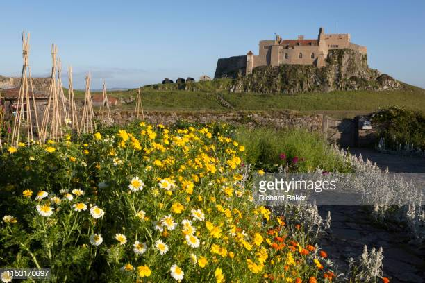 Chrsanthemum coromarium flowers in the National Trust's Gertrude Jekyll walled garden and Lindisfarne Castle on Holy Island on 27th June 2019 on...