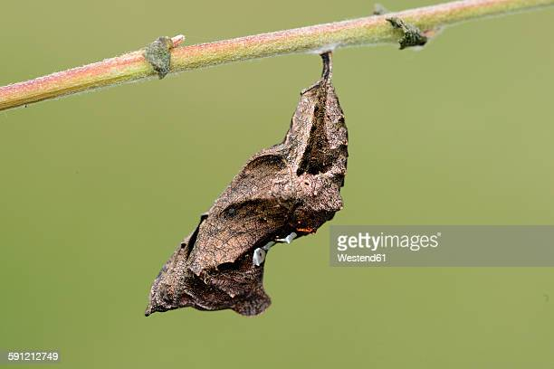 chrysalis of comma - cocoon stock pictures, royalty-free photos & images