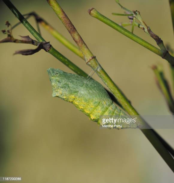 chrysalis papilio machaon - swallowtail butterfly stock pictures, royalty-free photos & images