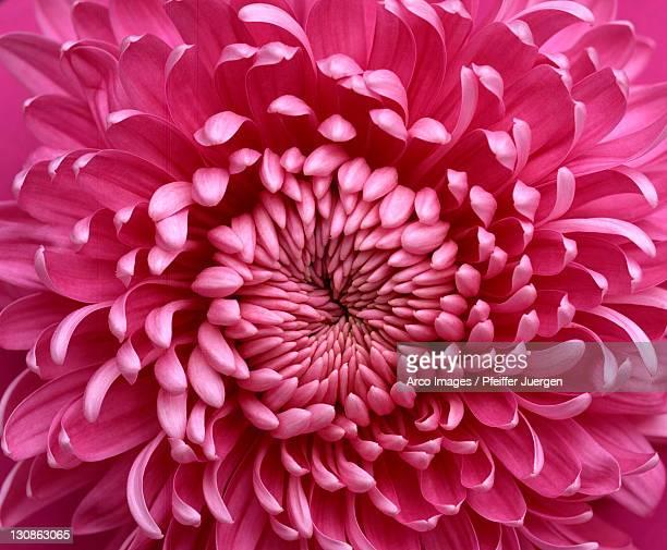 Chrysantheme / (Chrysanthemum hybride)