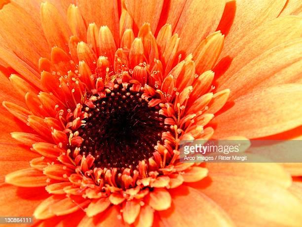 Chrysantheme / (Chrysanthemum indicum hybride)
