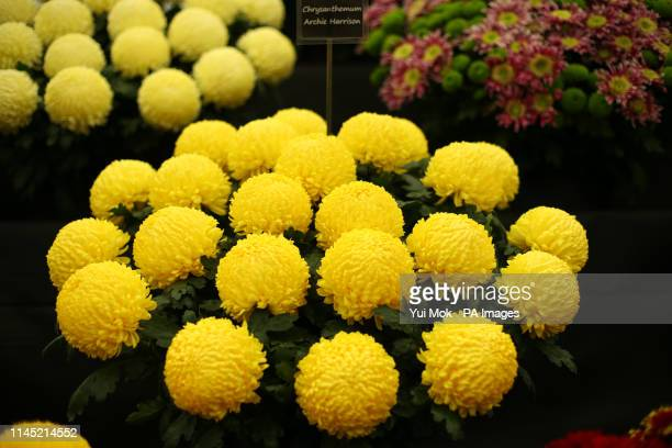 Chrysanthemum Archie Harrison named to celebrate the birth of the the Duke and Duchess of Sussex first child on display at the RHS Chelsea Flower...