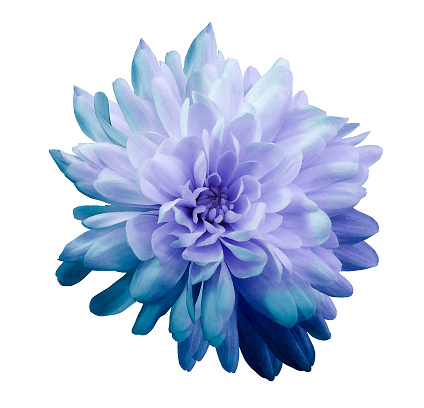 Chrysanthemum  blue-violet  Flower on  isolated  white background with clipping path without shadows. Close-up. For design. Nature. 935232312