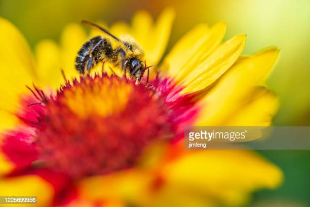 chrysanthemum flower  and bee in the summer, edwards gardens, toronto - tansy stock pictures, royalty-free photos & images