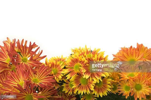 chrysanthemum flower autumn frame border, an orange seasonal plant background - chrysanthemum stock pictures, royalty-free photos & images