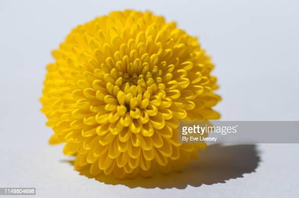 chrysanthemum flower - chrysanthemum stock pictures, royalty-free photos & images