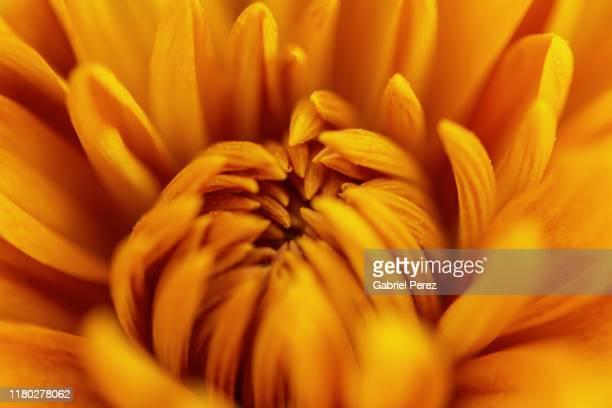 a chrysanthemum flower - chrysanthemum stock pictures, royalty-free photos & images