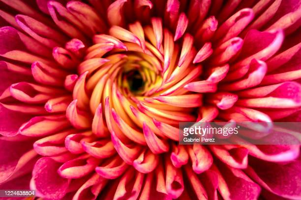 a chrysanthemum flower - bright beautiful flowers stock pictures, royalty-free photos & images