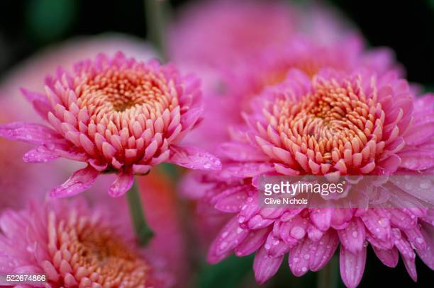 chrysanthemum 'margaret' at the rhs garden, surrey, england - chrysanthemum stock pictures, royalty-free photos & images
