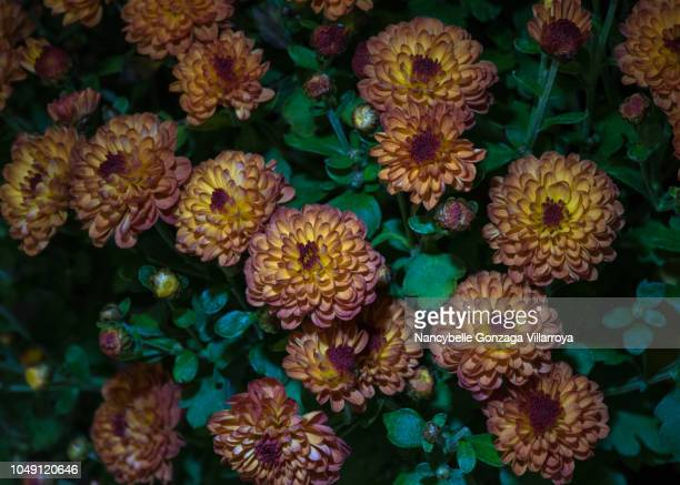 chrysanthemum - nancybelle villarroya stock photos and pictures