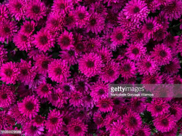 chrysanthemum - hot pink stock photos and pictures