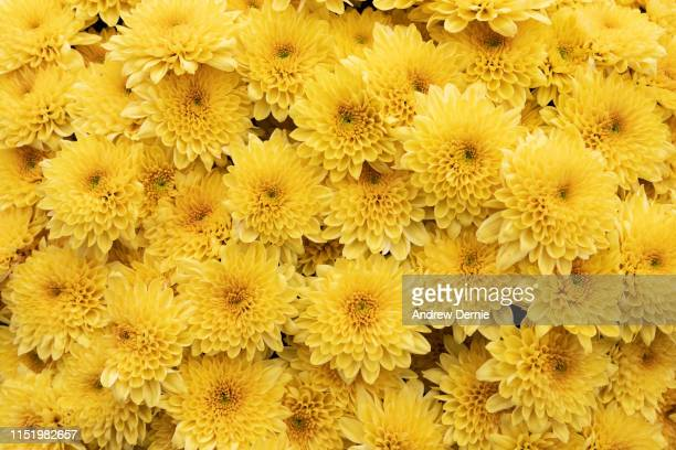 chrysanthemum - andrew dernie stock pictures, royalty-free photos & images
