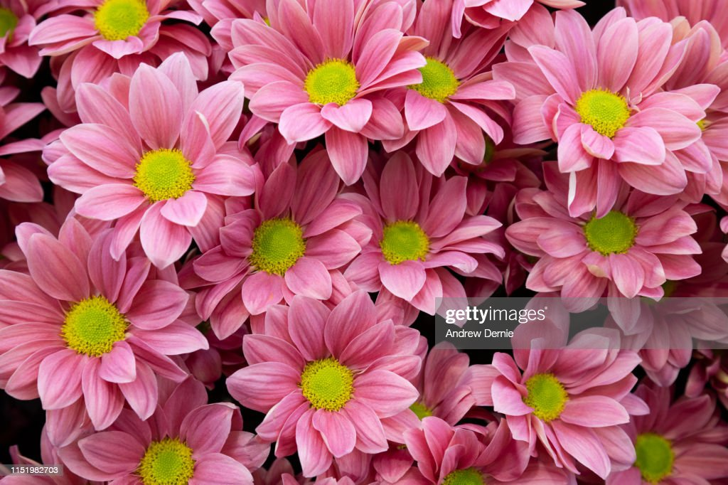 Chrysanthemum : Stock Photo