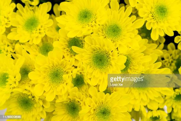 chrysanthemum - liyao xie stock pictures, royalty-free photos & images