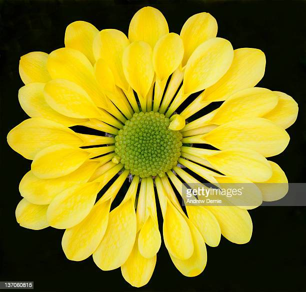 chrysanthemum - andrew dernie foto e immagini stock