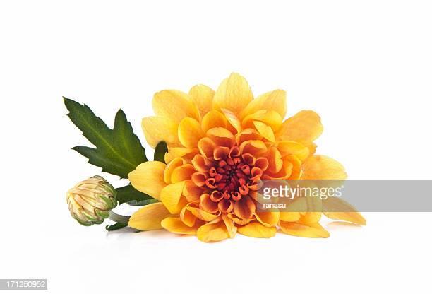 crisantemo - chrysanthemum fotografías e imágenes de stock