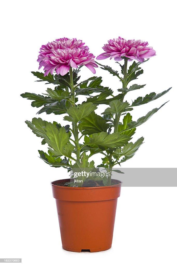 Chrysantheme : Stock-Foto