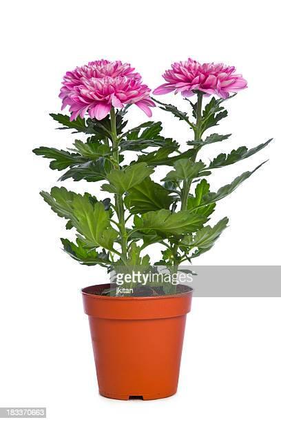 chrysanthemum - chrysanthemum stockfoto's en -beelden