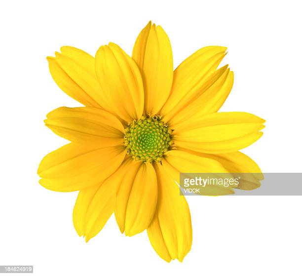 chrysanthemum - yellow stock pictures, royalty-free photos & images