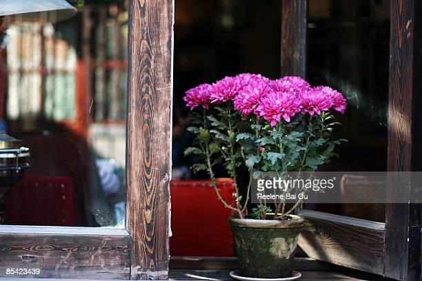 chrysanthemum - chrysanthemum stock pictures, royalty-free photos & images