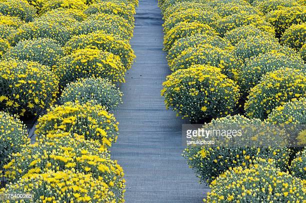 chrysanthemum pots - chrysanthemum stockfoto's en -beelden