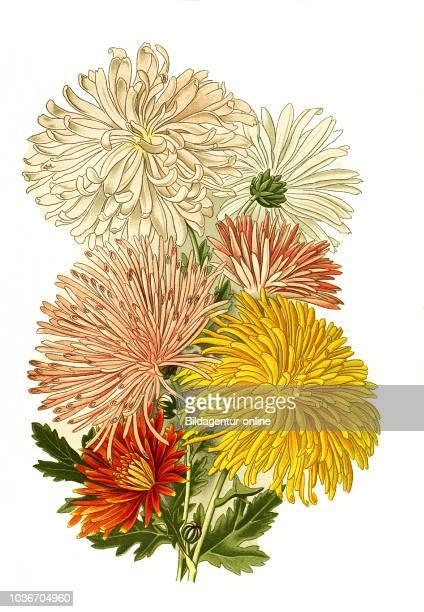 Chrysanthemum sinense var Chrysanthemum GartenChrysantheme digital improved reproduction from a print of the 19th century