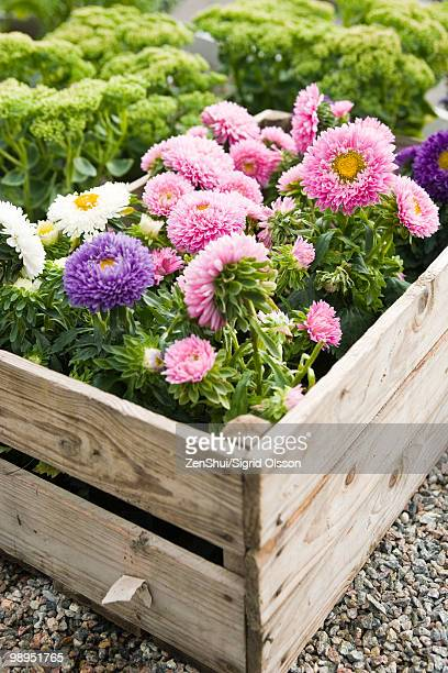 chrysanthemums growing in planter - chrysanthemum imagens e fotografias de stock