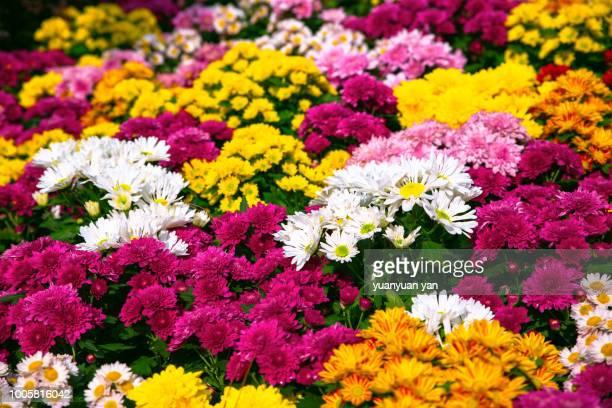 chrysanthemums - chrysanthemum fotografías e imágenes de stock