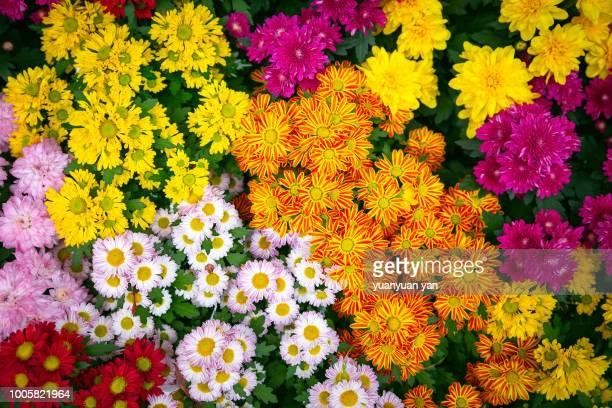 chrysanthemums - chrysanthemum stock pictures, royalty-free photos & images