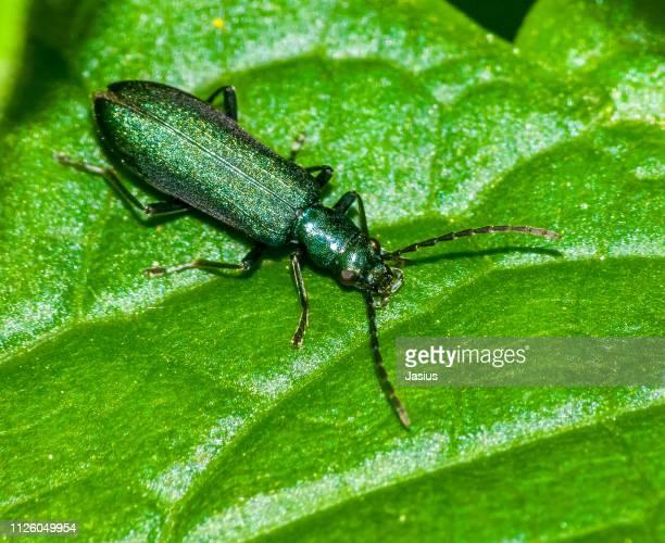 Chrysanthia viridissima – beetle