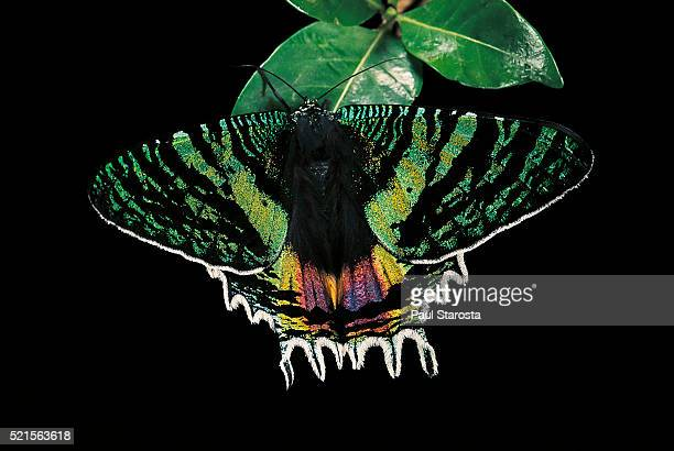 chrysiridia croesus (east african sunset moth) - sunset moth stock photos and pictures