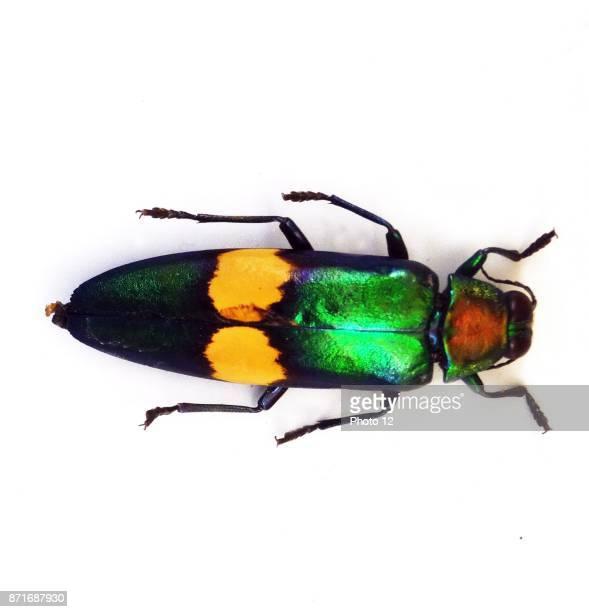Chrysochroa saundersii genus of metallic woodboring beetles Dated 1866
