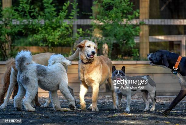 Chubbs a golden retriever center convenes a grouping of canines at a small dog park which is causing some friction between locals in Chevy Chase MD