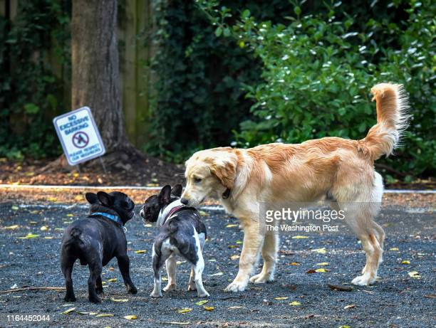 Chubbs right a golden retriever and his pal Louie left a French bulldog greet their friend at a small dog park which is causing some friction between...