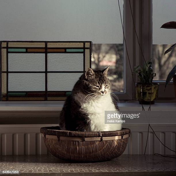 chubby cat in basket - fat cat stock photos and pictures