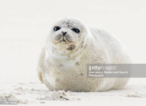 chubby harp seal pup at jones beach, long island - seal animal stock pictures, royalty-free photos & images