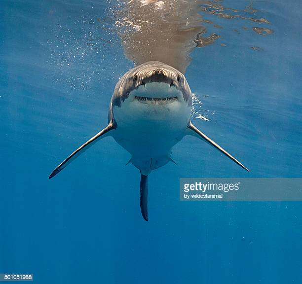 chubby - great white shark stock photos and pictures