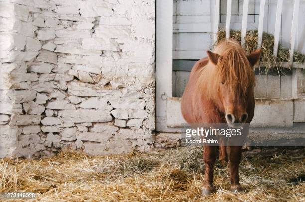 chubby shetland pony standing on straw in an american barn - bad bangs stock pictures, royalty-free photos & images